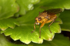 Yellow Dung-fly Royalty Free Stock Photos