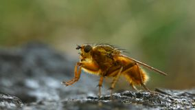 Yellow dung fly cleaning Royalty Free Stock Image