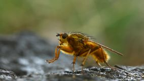 Yellow dung fly cleaning himself Stock Image