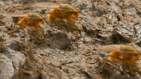 Yellow dung fly or golden dung fly (Scathophaga stercoraria). Stock Images