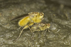 Yellow dung fly mating close-up / Scatophaga stercoraria Stock Photography