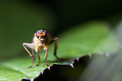 Yellow dung fly Royalty Free Stock Photo
