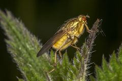 Yellow Dung Fly Stock Photography