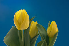 Yellow dutch tulips Royalty Free Stock Image