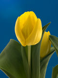 Yellow dutch tulips Stock Photos