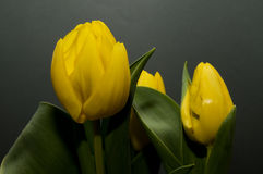 Yellow dutch tulips Stock Photo