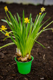 Yellow dwarf daffodils Stock Photos