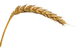 Yellow ear of wheat isolated on white Stock Images