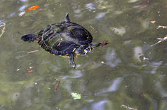 A Yellow-Eared Slider. Yellow-eared slider in a pond Stock Photos