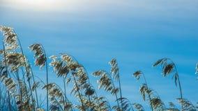 Yellow ears of grass against a blue Sunny sky. summer. Natural background, yellow ears of grass against the blue Sunny sky stock photo
