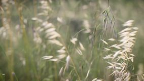 Ears moving in the wind in meadow. Yellow ears moving in the wind in green meadow. HD video without sound. Relaxing and environment concept stock video footage