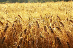 The yellow ears of ripe barley spikes in the field at the farm Royalty Free Stock Photo