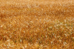 Yellow ears of wheat Stock Photography