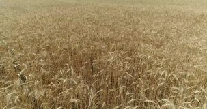 Yellow ears wheat sway in the wind, the background field of ripe ears of wheat, Harvest. Wheat growing on field, Aerial view, View from above, 4k video stock footage