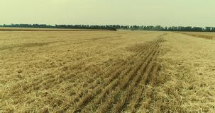 Yellow ears wheat sway in the wind, the background field of ripe ears of wheat, Harvest, Wheat growing on field, Aerial. View, View from above, 4k video stock video
