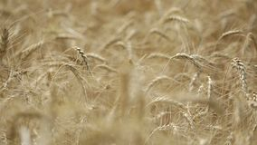 Yellow ears wheat sway in the wind, the background field of ripe ears of wheat, Harvest, Wheat growing on field, video. Blue sky, Close-up stock video footage