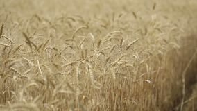 Yellow ears wheat sway in the wind, the background field of ripe ears of wheat, Harvest, Wheat growing on field, video. Blue sky, Close-up stock video