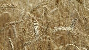 Yellow ears wheat sway in the wind, the background field of ripe ears of wheat, Harvest, Wheat growing on field, video. Blue sky, Close-up stock footage