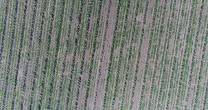 Yellow ears wheat sway in the wind, the background field of ripe ears of wheat, Harvest. Wheat growing on field, Aerial view, View from above, 4k video stock video footage