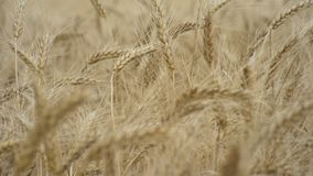 A field of wheat. Many ears of wheat swaying in a light breeze in the agricultural field. Yellow ears wheat sway in the wind, Ears of rye swaying in the wind stock video