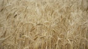 Yellow ears wheat sway in the wind, Ears of rye swaying in the wind and in the background field of ripe ears of rye. Wheat field. Golden ears of wheat on the stock video