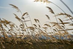 Yellow ears of wild grass. At noon, backlight, against a bright cloudless sky. Heartlessness, rural life stock photography