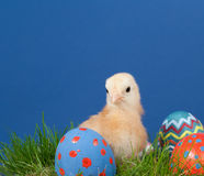 Yellow easter Chich with colorful eggs in grass Stock Photography