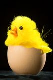 Yellow Easter Chick in Egg Stock Photography