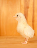 Yellow Easter Chick with its beak open Stock Image