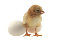 Yellow easter chicken. Sitting near white eggs Royalty Free Stock Image