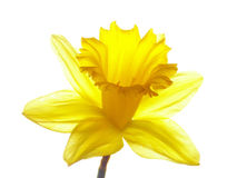 Yellow easter daffodil Stock Photos