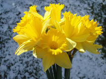 Free Yellow Easter Daffodil Stock Photos - 556703