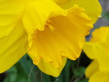 Yellow easter flower in nature royalty free stock photos