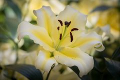 Yellow easter Lilly Royalty Free Stock Photography