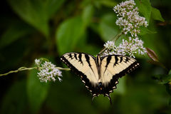 Yellow Eastern Swallowtail Butterfly. On white flowers with green in the background royalty free stock photo