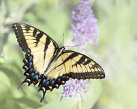 Yellow Eastern Tiger Swallowtail Butterfly Royalty Free Stock Image