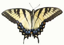 Yellow Eastern Tiger Swallowtail Butterfly Isolated Royalty Free Stock Image