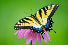 Yellow Eastern Tiger Swallowtail Butterfly On Purple Coneflower Royalty Free Stock Photos
