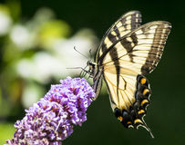 Yellow Eastern Tiger Swallowtail Butterfly Stock Images
