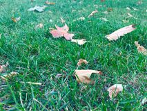 Leaves on grass at autumn. Yellow eaves on green grass at autumn royalty free stock photos