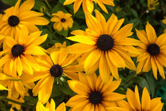 Yellow echinacea Royalty Free Stock Images