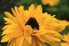 Yellow Echinacea Royalty Free Stock Photos