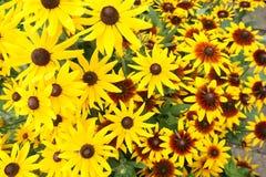 Yellow echinacea flowers Stock Image