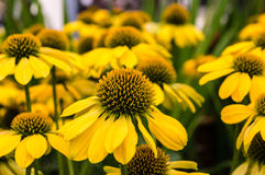 Yellow Echinacea flowers in bloom Royalty Free Stock Photos