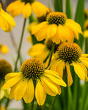 Yellow echinacea flowers in full bloom Stock Photo