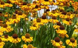 Yellow  echinacea flowers in summer garden. Beautiful yellow echinacea flowers in summer garden Stock Photos