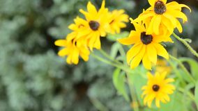 Yellow Echinacea (Rudbeckia) stock footage