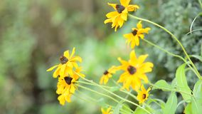 Yellow Echinacea (Rudbeckia) stock video