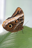 Yellow-edged Giant Owl Butterfly. Sitting on tropical leaf Stock Images