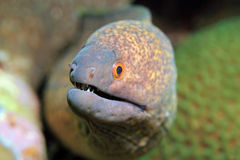 Yellow-edged Moray Royalty Free Stock Image
